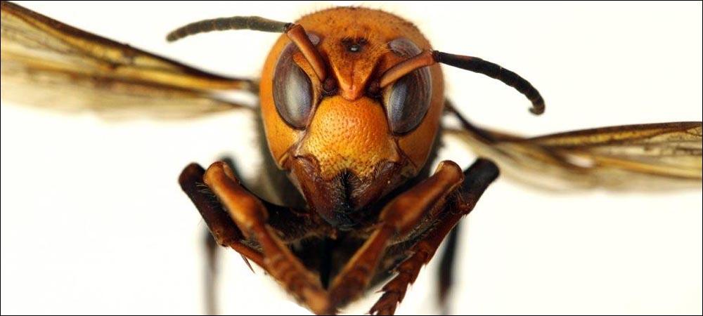 Scientists Eradicate Invasive Hornet Nest After Tracking It via RF Transmission