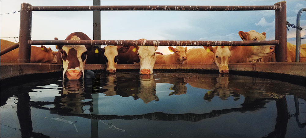 RFID Detects Health Issues for Calgary Feedlots